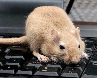 raton-copia