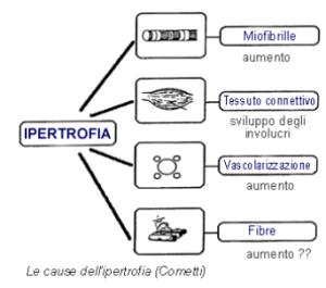 fattori ipertrofia_muscolare
