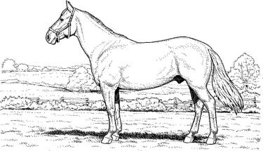arabian-horse-coloring-pages
