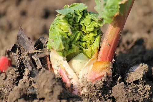 rhubarb shoots in the garden