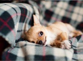 6 Useful Tips to Know When Trying to Give Meds to Your Chihuahua