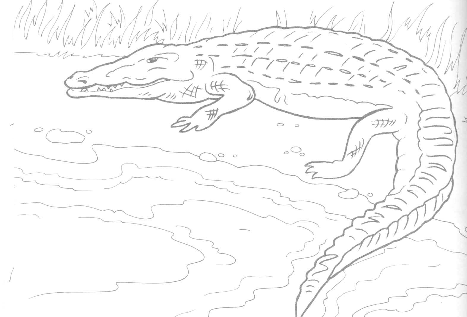 Alligator Coloring Pages | Coloring pages for kids, Coloring pages ... | 1068x1572
