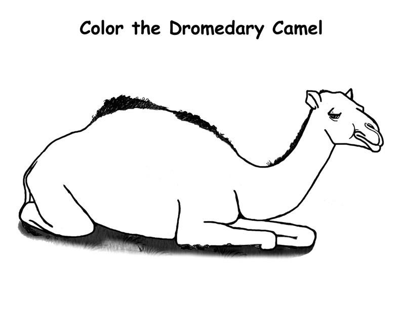 camel face coloring page camel colour stock photos royalty free