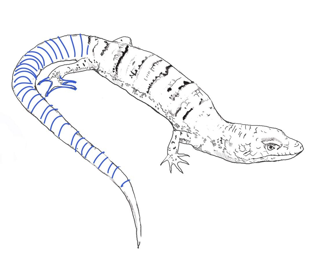 blue tongue lizzard colouring pages