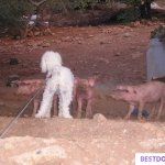 Chelsea and the pigs