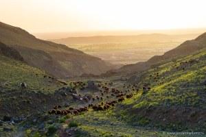 Een kudde schapen wordt verlicht door de ondergaande zon in de groengele heuvels van Iran