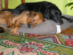 Best dog friends Alice and Tini Asleep on Shared Bed