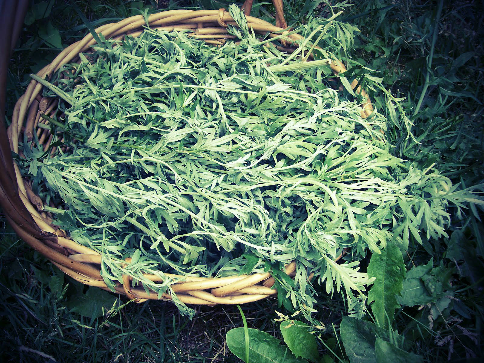 Artemisia annua - Amazing Herb that Kills 98% of the Cancer Cells