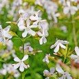 Soapwort (Saponaria officinalis) Benefits