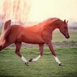 How Much Does An Arabian Horse Cost Best Horse Rider