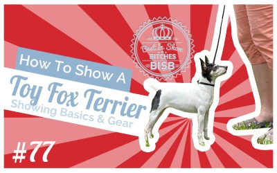 How to Show a Toy Fox Terrier at a Dog Show