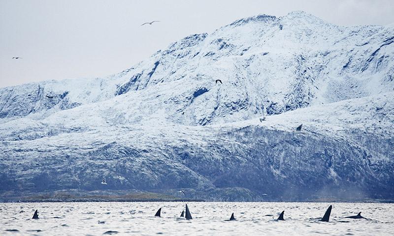 voir orque norvege