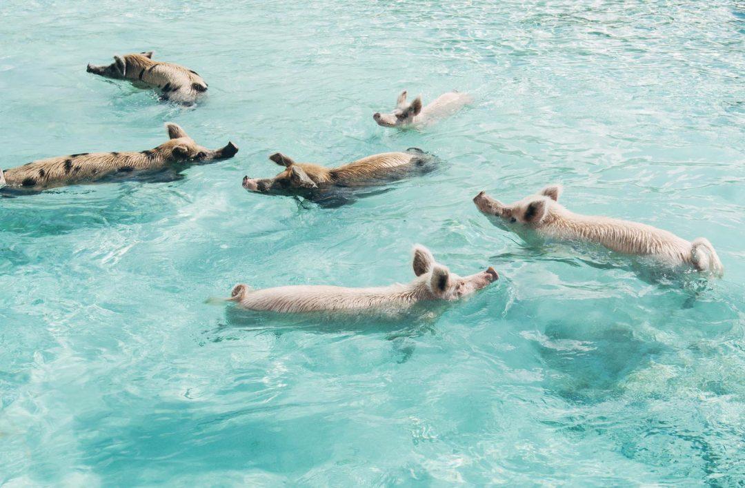Cochons Nageurs, Exumas, Bahamas