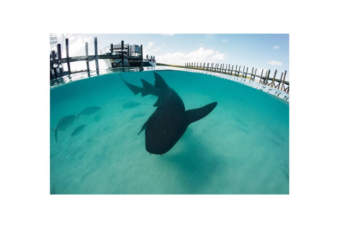 Requin nourrice, bahamas