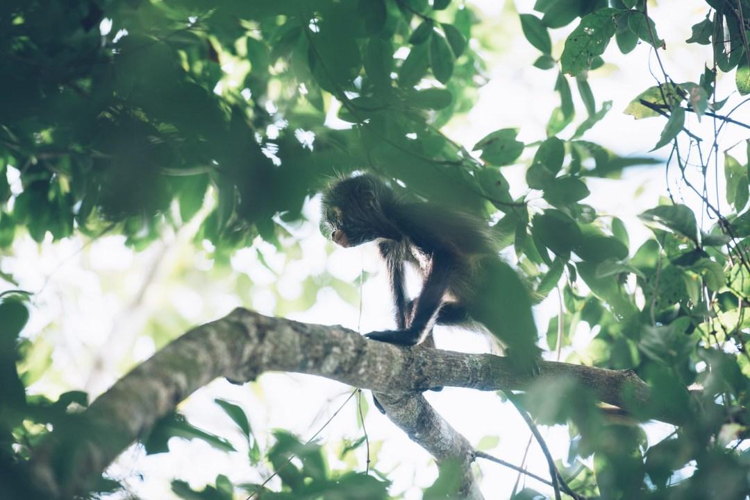 Singe, Punta Laguna, Mexique