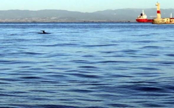 δελφίνια θερμαικός