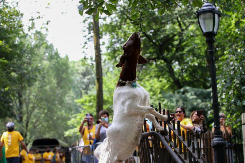 κατσίκες πάρκο Νέα Υόρκη