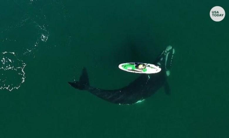 Αργεντινή σέρφερ φάλαινες