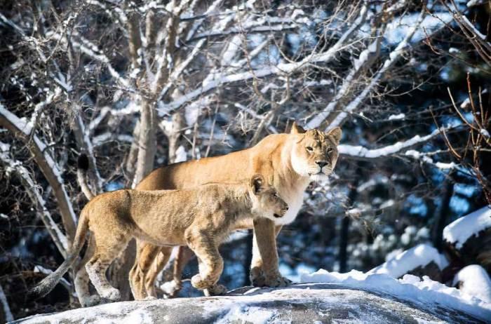 Pueblo Zoo lions