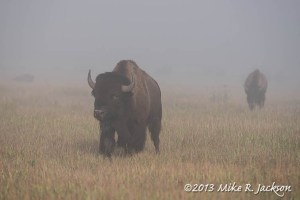Approaching Bison Bull in the Fog