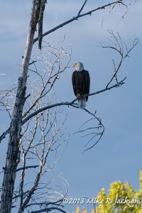 Bald Eagle Sept 24