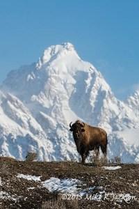 Ridgeline Bison