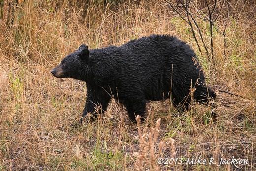 Black Bear In Grass