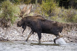 Bull Moose Leaving River 1 Sept 22