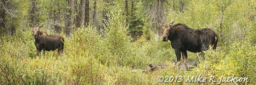 Cow in Cottonwoods Sept. 13
