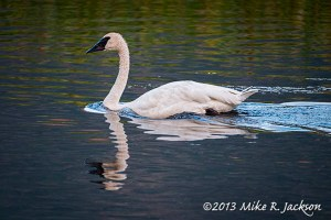 Late Evening Swan