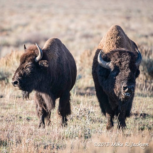 Web Bison Pair Oct20