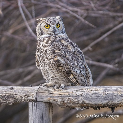 Web Great Horned Owl Oct27