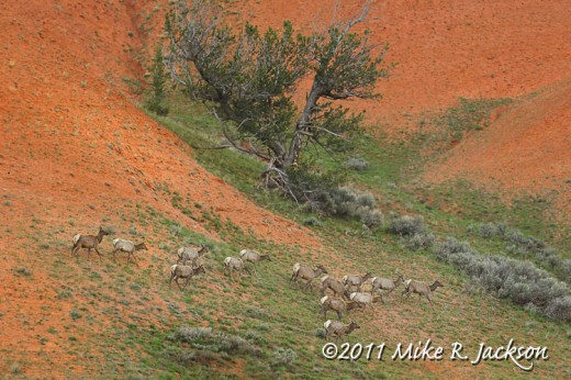 Elk on Red Hills