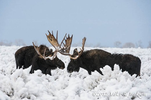 Moose2Bulls1_Nov25