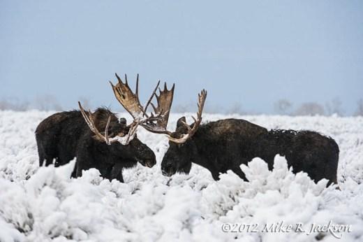 Moose In Snow_Nov25