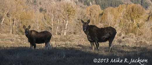 Web Moose Cow Calf_Oct18