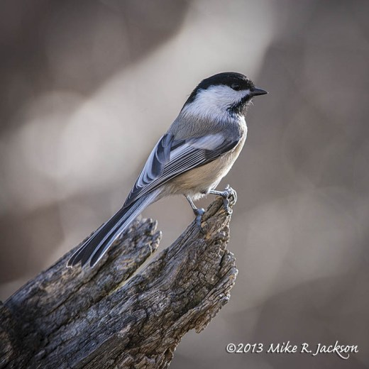 Chickadee Black Capped Nov9