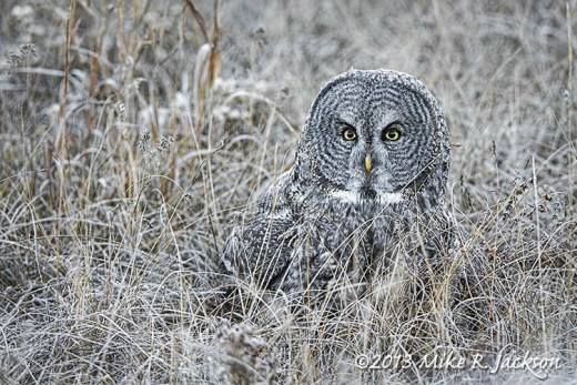 Great Gray Owl In Grass Oct27