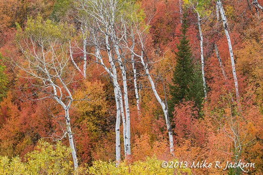 Mountain Maple And Aspens October 2