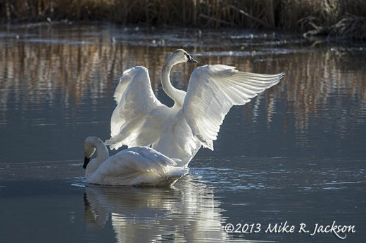 Swan Pair Stretch Nov12