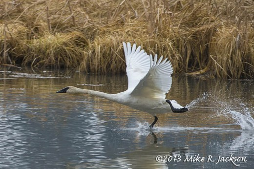 Swan Water Walk Nov13