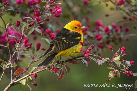 Tanager Male 3_June2
