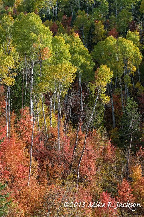 Vertical Aspens October 2
