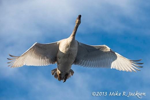 Web Swan Overhead Nov24
