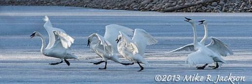 Web Swan Squabble Nov24