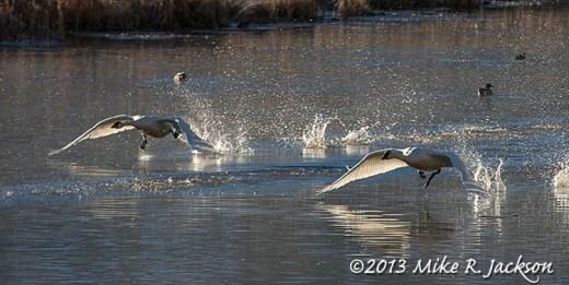 Web Swan Take Off Nov12