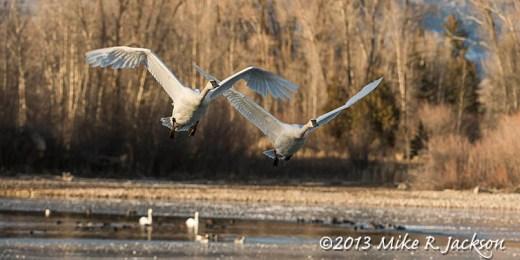 Web Swans Approaching Nov29