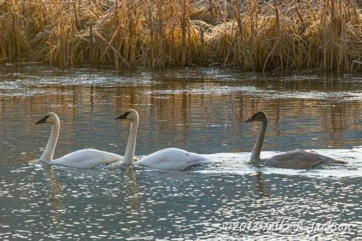 Web Three Swans Nov14