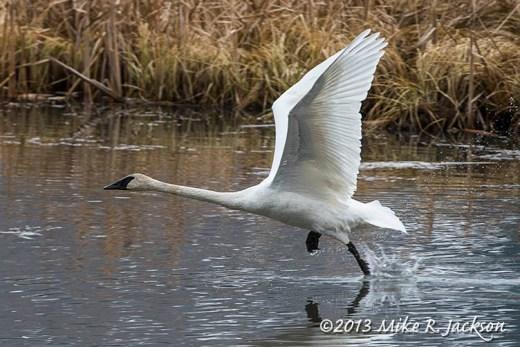 Web Trumpeter Swan Take Off 2 Nov13