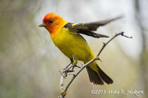 Western Tanager 1_May19